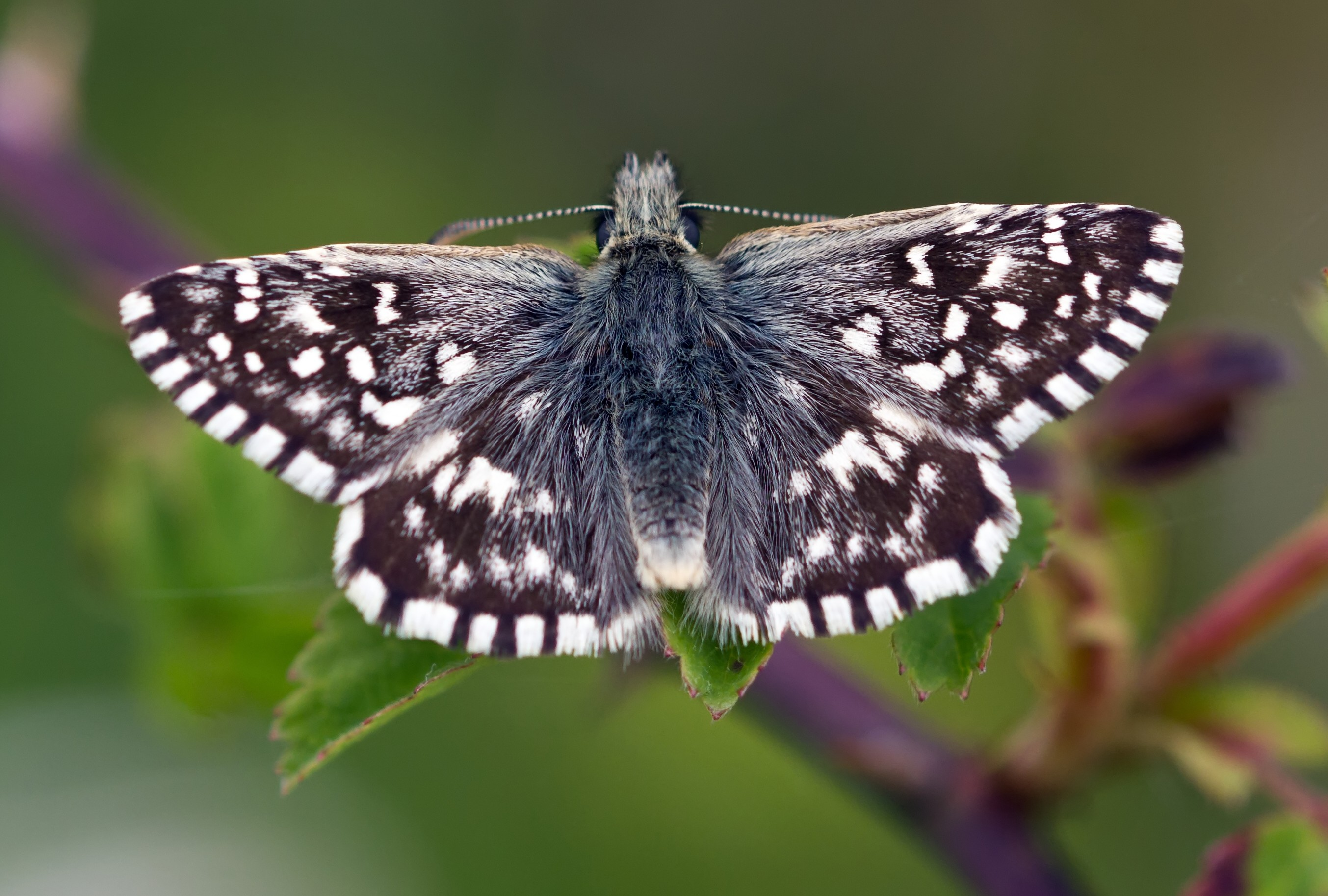 Grizzled Skipper_© Tony Pope